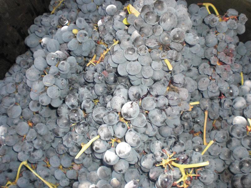 Grappoli Uva Azienda Vinicola Criolin