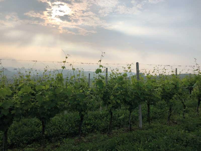 Vigneti-Azienda-Vitivinicola-Val-Serra-San-Damiano-
